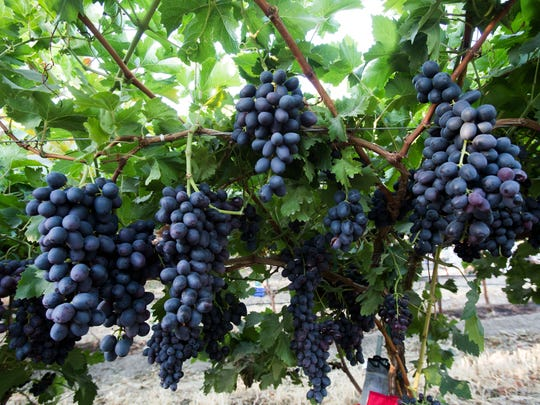"Farmworkers in Mecca harvest the ""Midnight Beauty"" grape varietal. The Coachella Valley produced 88 million pounds of table grapes in 2017."