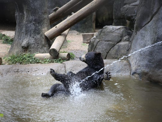 Black bear Finn enjoys some play time in the water at Black Bear Falls at Zoo Knoxville on Wednesday, June 20, 2018.