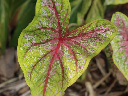 Caladium leaf at ECHO