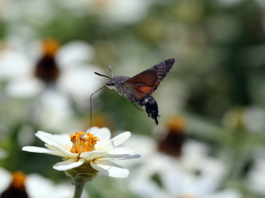 A type of sphinx moth known as a hummingbird hawk moth shows its long proboscis as it feeds on a flower.