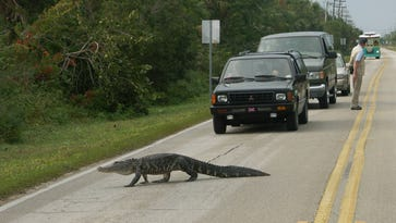 Alligators are on the move in search of love