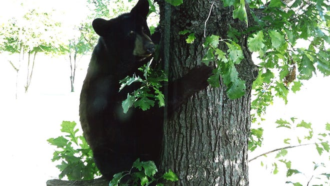 A black bear clings to a tree after eating bird seed from a feeder in the backyard of Eldred and Joanne Thul in Sauk Rapids on Thursday, June 30.