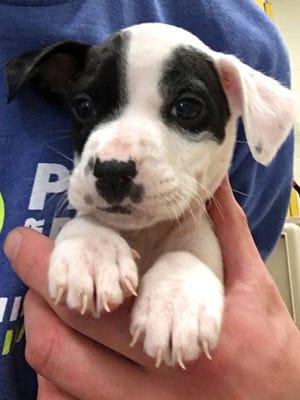 Elvis is an 11-week-old pit bull terrier up for adoption at Nashville Humane Association.