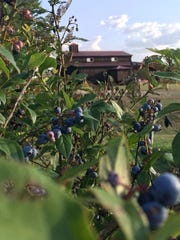 It's the end of blueberry season at Black and Blue