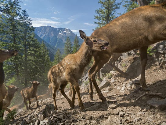 On their first migration to their summer range in southeastern Yellowstone, three-week-old calves of the Cody elk herd follow their mothers up a 4,600-foot slope. A few hours earlier they swam the swollen South Fork of the Shoshone River