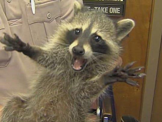 Raccoon Dog Pet Raccoons As Pets