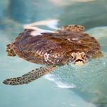 A new home for Sweet Pea: Sea turtle moves into Navarre Beach center