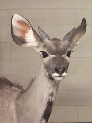 Mijo, an 8-month-old antelope, died during Tuesday a routine vasectomy at the El Paso Zoo.