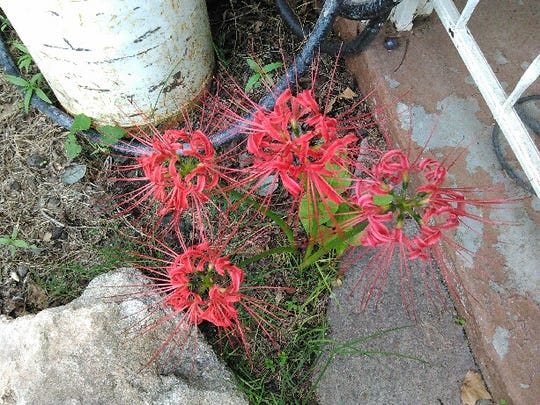 Lycoris radiata plant, known as red spider lily or red magic lily is a plant in the amaryllis family.