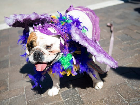 Costumed dogs walk down Gay Street as part of the Young-Williams Animal Center Mardi Growl dog parade. This year's parade is Saturday.