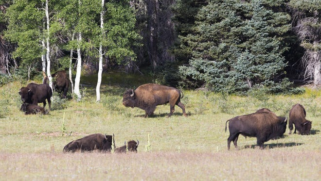 A herd of bison graze on a field in the Kaibab National Forest near Fredonia.