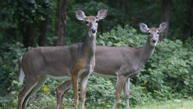 Deer eat along the side of the road in Cortlandt Manor on Sept. 20, 2012.