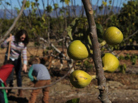 CHUCK KIRMAN/THE STAR Figs are seen growing at Petty Ranch in Saticoy in this undated file photo. The orchard, which also produces avocados and lemons, will be open to the public during Ventura County Farm Day on Nov. 9.