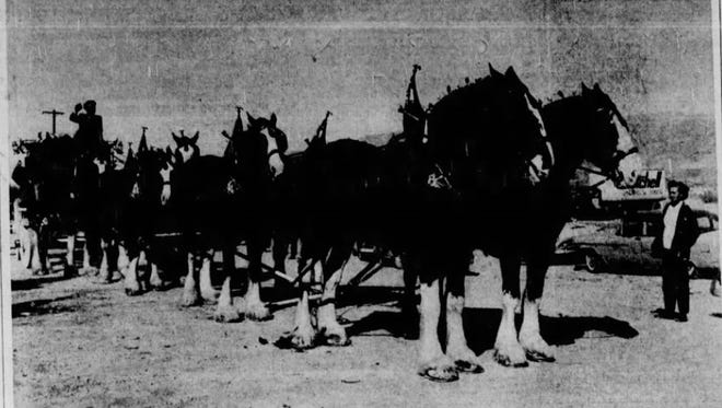 Budweiser Champion Clydesdales.