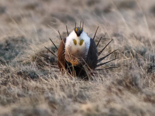 Sage Grouse 3
