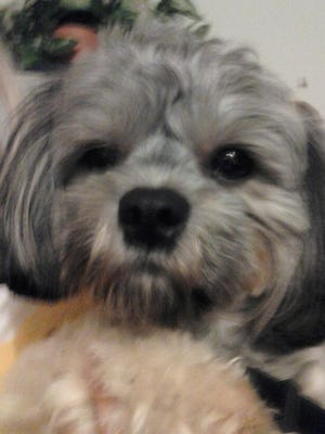 Mini, a three-year-old shih tzu-poodle mix smelled smoke and alerted her owner to a potential fire at a townhouse two doors away Monday morning in Cape Canaveral.