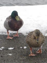 A pair of mallards walk through snow Monday at Eldridge