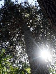 Sun shines through the Ponderosa pine in Southern Oregon.