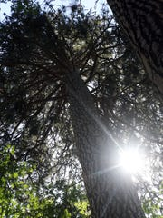 Sun shines through the Ponderosa pine in Southern Oregon.