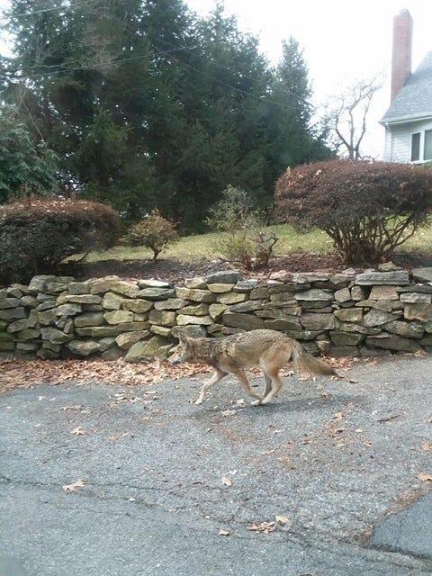 Coyote kills dog bites people in Hastings Yonkers