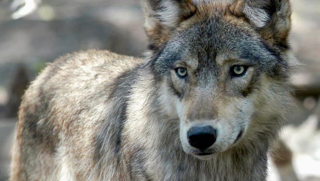 Conservationists in Wisconsin pushed back Wednesday, Jan. 10, 2018, against a bill that would end state wolf management efforts and bar state police from investigating wolf poaching, saying the measure will open the door to indiscriminate wolf hunts and won't help get the animals off the federal endangered species list.