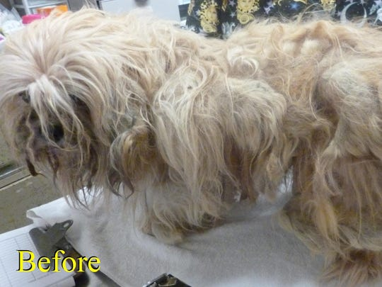 Kent was left at the Central Brevard Humane Society an unkempt mess, but the society crew cleaned him up and found a beautiful little Maltese under all that hair.