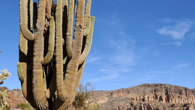 """The colossal cactus known as """"Giant Saguaro"""" along Dutchman's Trail in the Superstition Wilderness. The hike to the saguaro begins at the Peralta trailhead on Bluff Spring Trail."""
