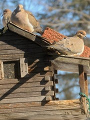 Mourning doves we see resting, scrounging and eating at backyard feeders aren't the same elusive birds that baffle hunters with their darting, unpredictable high-speed escapes in sunflower fields and around water holes.