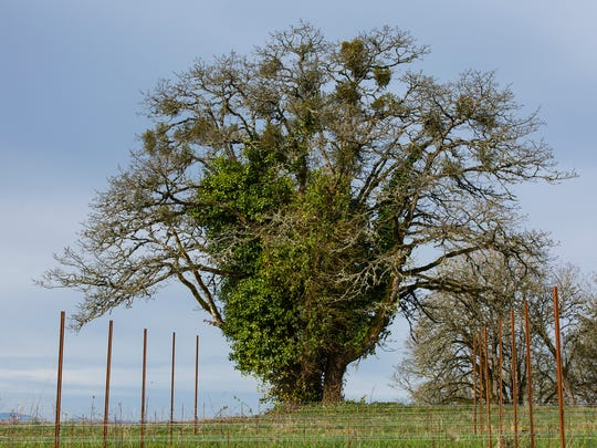 An oak tree strangled by ivy in the Bethel Heights Vineyard is one of the trees the vineyard is working to restore on Thursday, March 23, 2017. The ivy must be cut away from the tree, a labor-intensive process, before the oak can flourish. Winegrower Mimi Casteel estimates some of the larger oaks on the property are between 150-175 years old; they also uncovered 18 baby oak trees on the property in 2014 that they are encouraging to grow.