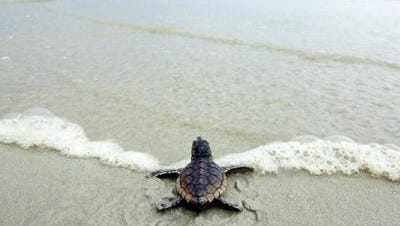 A baby sea turtle heads towards the ocean