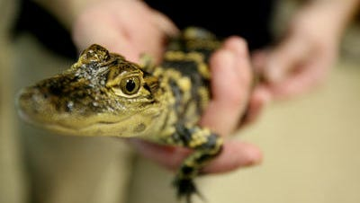 Blue, a baby American alligator was one of the amphibians available for the public to meet during the Animal Extravaganza at the Muncie Children's Museum in 2009. The event invited families to meet the museum's animals, amphibians, reptiles and insects.