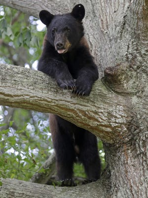 A Louisiana black bear, a protected sub-species of the black bear, is seen from its perch in a water oak tree in a neighborhood of New Orleans on Sunday. The bear is among three to five that have wandered into populated parts of Louisiana in the past 10 days, said wildlife biologist Maria Davidson, head of the large carnivore program for the state Department of Wildlife and Fisheries.