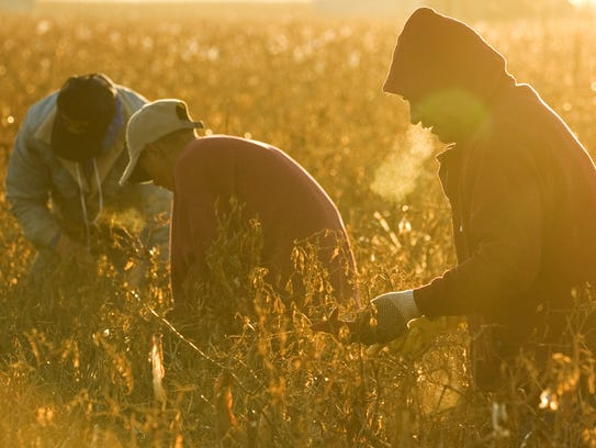 Campesinos trabajando en un campo de chiles en Marana,