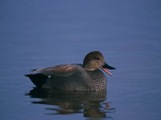 Gadwall.jpg