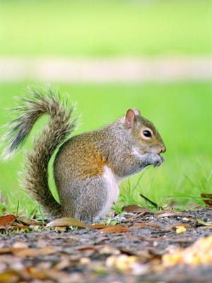 A squirrel foraging for food.