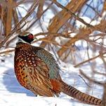 Oh, shoot: Minnesota pheasant season opens with numbers down