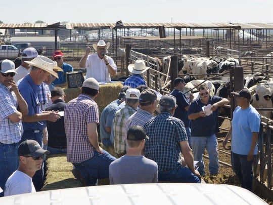 An auction was held Tuesday for 750 head of cows at the Martin Dairy in Tipton. After years of low milk prices, the family that owns the dairy opted to get out of the business before losses cost them any more equity.