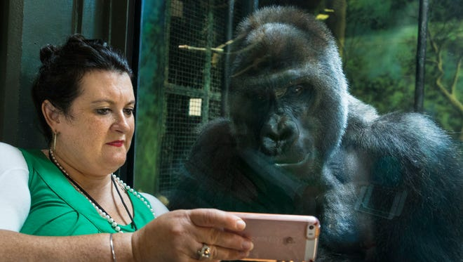 Kyle Shepherd, media and public Relations manager for the Louisville Zoo played a video on her phone for Jelani, a silverback gorilla at the zoo. Jelani, unlike the other gorillas, is fascinated by cell phones. June 14, 2017.