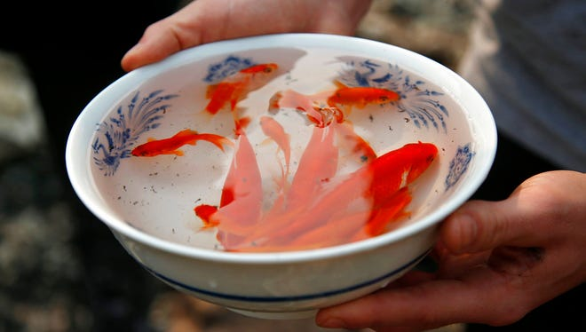 In this Oct. 10, 2017 photo Logan Hertel holds a bowl full of goldfish he and his friends rescued from a destroyed home on Parker Hill Court in Santa Rosa, Calif.