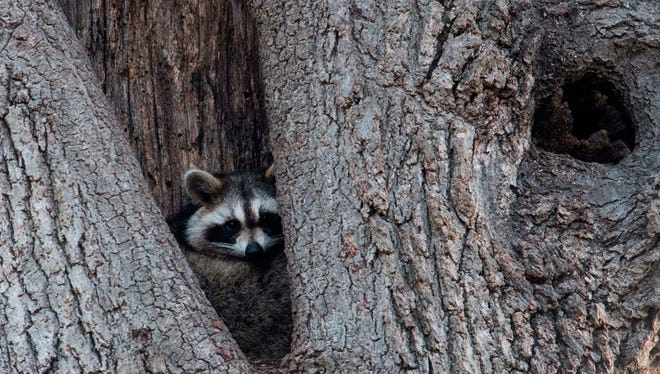 A raccoon rests in the hollow of a tree. Police in Ohio have been getting reports of strange encounters with raccoons.