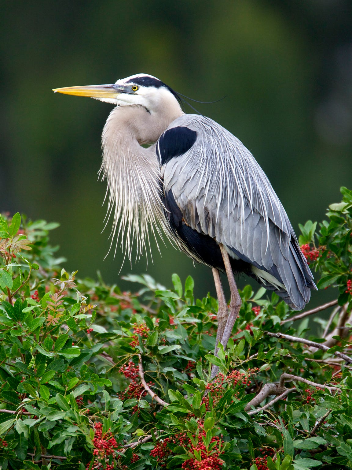 A Great Blue Heron in an invasive Brazilian Pepper tree at Venice Rookery in Venice, Florida.