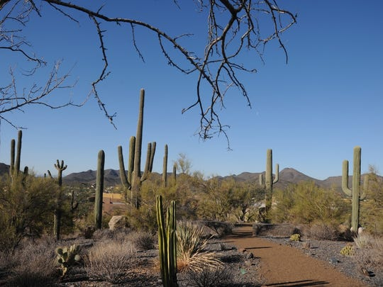 Saguaros and other native plants line the path of Carol