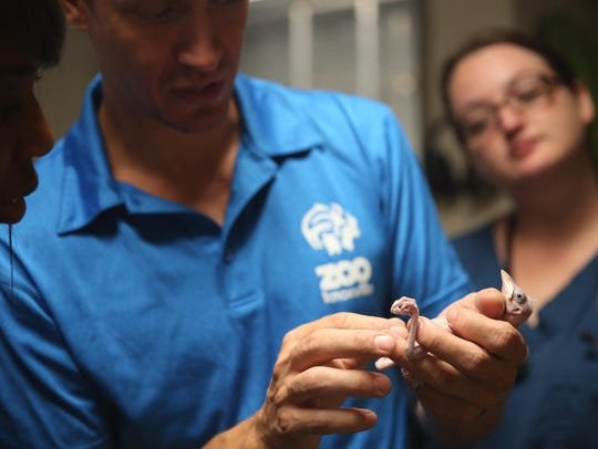 Two Bali mynah chicks hatched at Zoo Knoxville in late