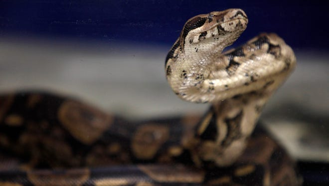 Boa constrictors can pose dangers to humans.