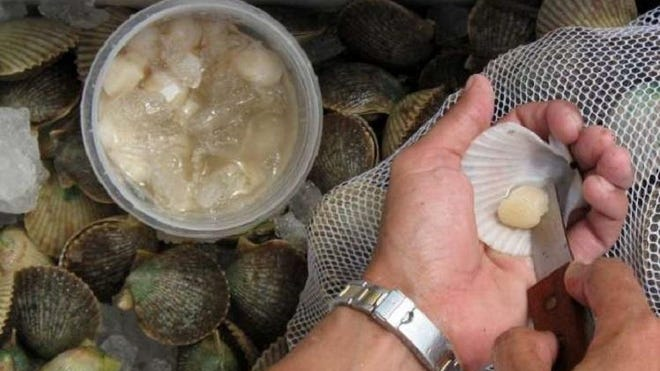 Harvesting scallops requires a current Florida recreational saltwater fishing license unless you are on a chartered trip.