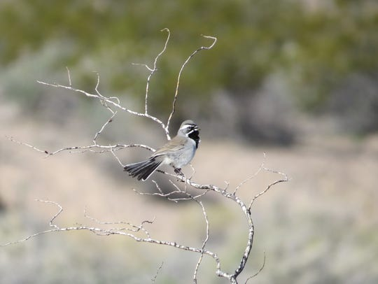 A black-throated sparrow perches on a branch in the