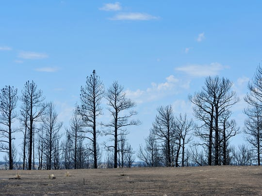 Charred remains of pine trees line the river breaks above the Musselshell River on the Browning ranch.  The Lodgepole Complex Fire burned more than 250,000 acres in Garfield and Petroleum Counties.