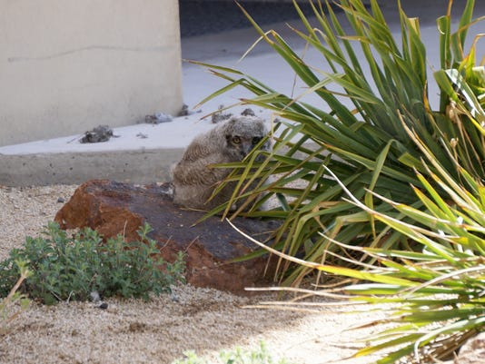 Baby owl in Reno
