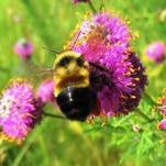 Trump relents: Bumblebee to be listed as endangered species