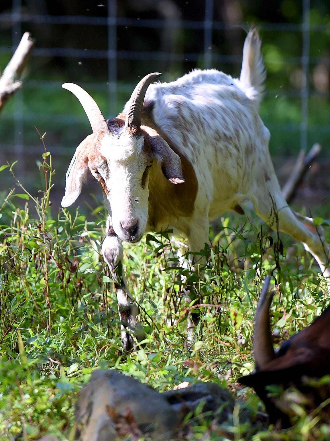 A goat from Goat Busters moves around, feasting on overgrown vegetation in a fenced off section of land on property near Churchville on Sept. 11, 2015.